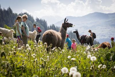 Lama-Trekking in Brigels