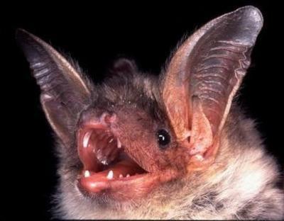 Fledermuse - Die mit den Ohren sehen und mit den Hnden fliegen.