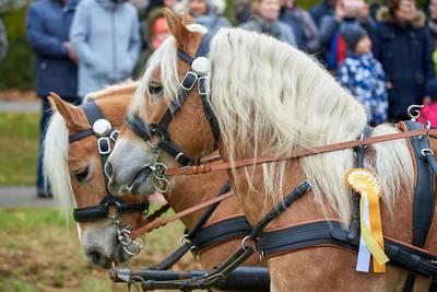 Zu Ehren des Heiligen Leonhard ziehen beim Leonhardiritt zahlreiche Pferde und Kutschen durch Bad Gögging.. (© Foto Mayer)