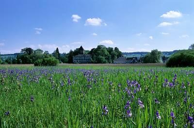 Irisblte im Wollmatinger Ried