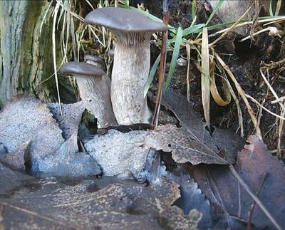 Pilze sammeln, erkennen und bestimmen