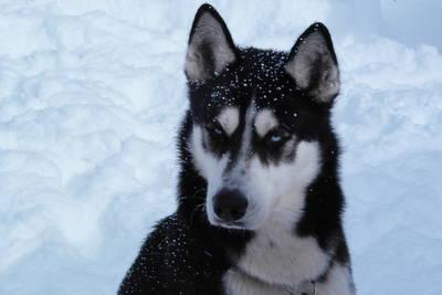 Mit Siberian Huskies unterwegs