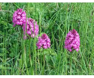 ABGESAGT: Albguide-Tour: Seltene Orchideen in der Wacholderheide