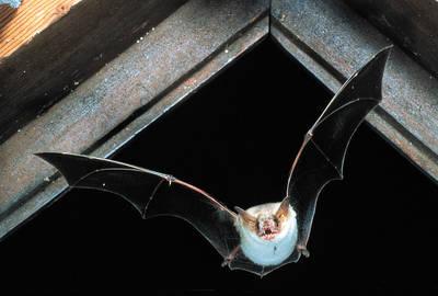 Fledermäuse auf der Halbinsel Mettnau
