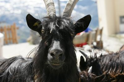 Goats Tour