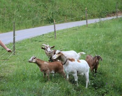 Ziegenfüttern und -streicheln