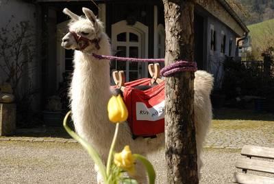 Lama Trekking im Südschwarzwald