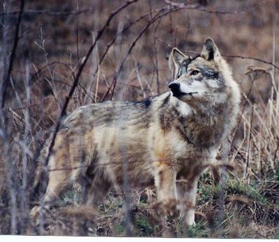 Bei Vollmond im Wolfsrevier