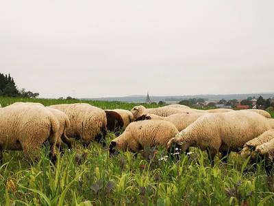 SchafherdeWarneke. (© Auf den Spuren der Schafe)