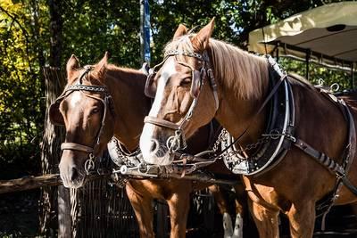 Romantik im Schwarzwald  Pferdekutschenfahrt am Fue des Feldbergs