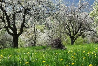 Kirschblütenwanderung und Verkostung - mit Dieter Bounin ABGESAGT