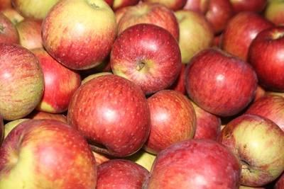 Anfänger-Seminar: Obstsorten bestimmen