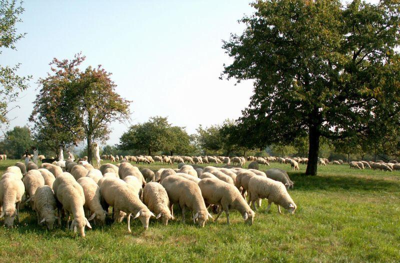 Bliesgau Lammwochen. © Biosphärenzweckverband Bliesgau